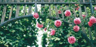 công viên hoa hồng