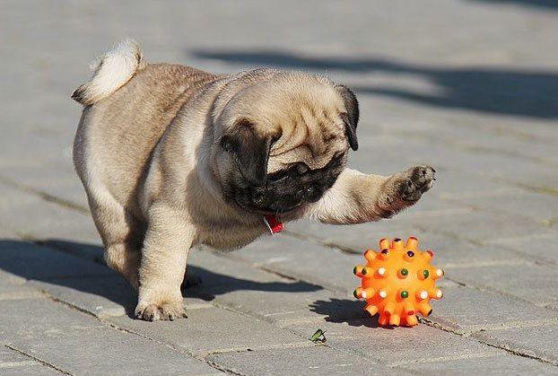 Cách chọn mua chó Pug chuẩn phù hợp với nhu cầu