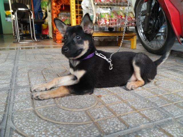 Cách chọn mua chó tốt, chó khôn theo kinh nghiệm dân gian